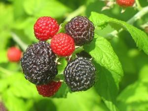 raspberries_21-2