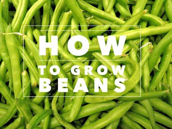 how to grow beans garden