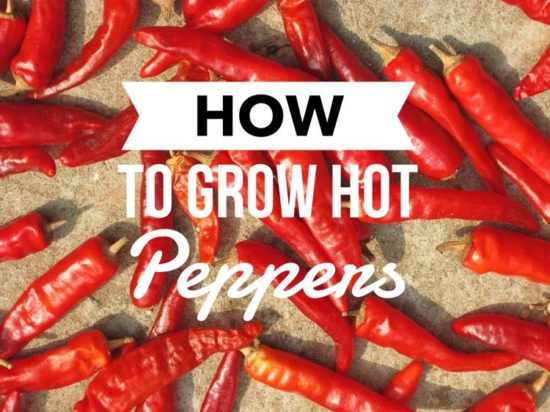Learn how to grow hot peppers