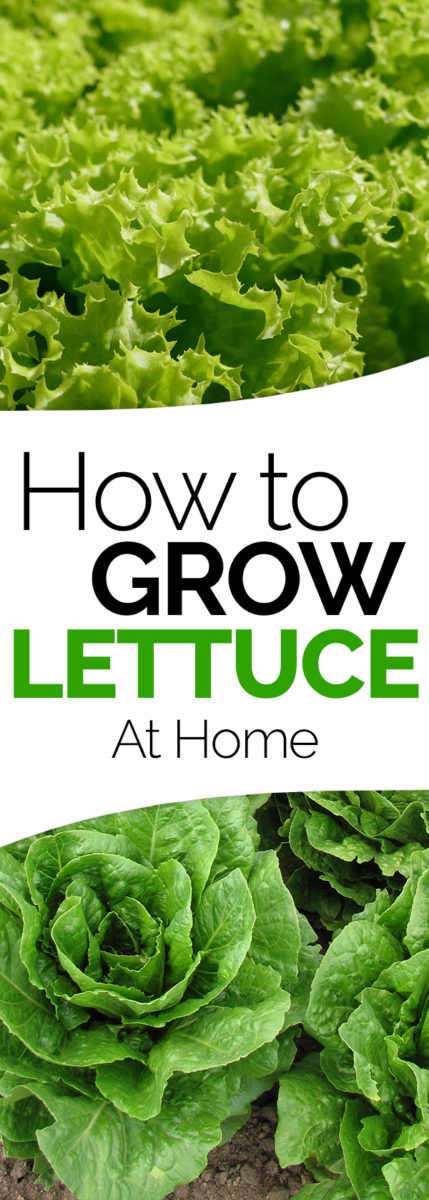 how to grow lettuce in the garden