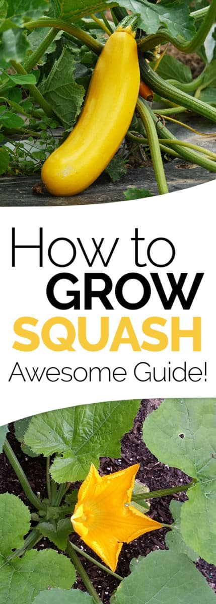 growing summer squash guide