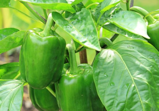 green pepper plant