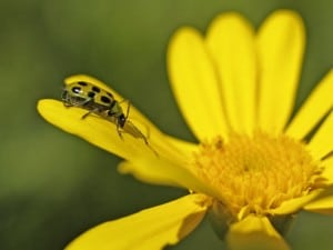 spotted-cucumber-beetle-morguefile
